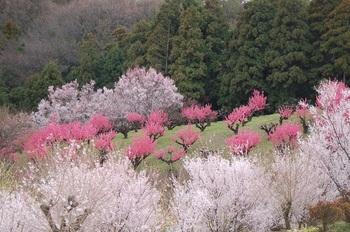 桃の里2015.jpg